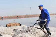 全国最大海盐生产基地开始春季扒盐