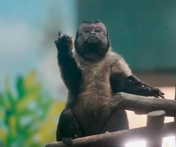 """国字脸猴子走红网络自带表情包        这只长了一张""""国字脸""""的是黑帽悬猴。[观看]"""