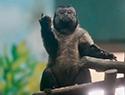 国字脸猴子走红