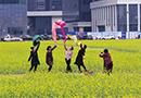 天津开发区油菜花盛开