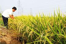 天津全面振兴小站稻惠农增收成效显著今年天津小站稻育秧、田间管理水平大幅提升:全面水稻基质育秧,让秧苗又壮又健康;统一开展绿色统防统治,有效防治病虫害;与此同时,大力发展稻蟹混养、稻鱼混养,生产有机稻米。今年天津小站稻种植面积50万亩,预计总产量将达到30万吨以上。【详细】商业财经|游在天津|科教文体|民生舆情