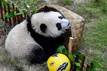 """熊猫""""足球赛""""助威世界杯"""
