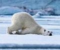北极熊真的是在泡温泉吗?        北极圈部分陆地地区最近温度达32度,但专家表示,目前不会出现北极熊灭绝的情况。[观看]