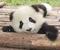 萌翻!看大熊猫百天成长记录        萌萌的熊猫宝宝是怎样练成的?来看看吧。[观看]