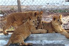 青藏高原繁育成活三只非洲狮