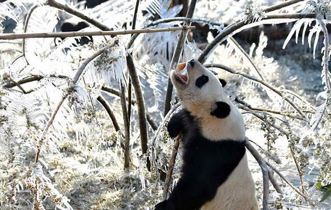 """数九寒天熊猫""""撒欢"""""""