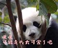 """熊猫宝宝:今天也是爱你的一天哟        犯困的熊猫宝宝向游客展示""""盛世美颜""""。[观看]"""
