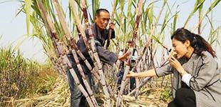 中国热科院选育5个甘蔗新品种