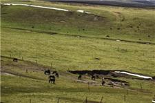 祁连山下山丹军马场马匹、牦牛觅食忙