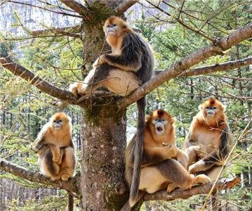"""神农架的树上""""长""""着金丝猴"""