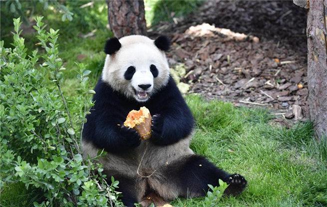 高原西宁首家熊猫馆对外开放